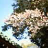三島大社の桜の開花情報