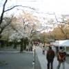 ***三島大社の桜の開花情報***