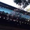 三嶋大社桜開花情報20120217